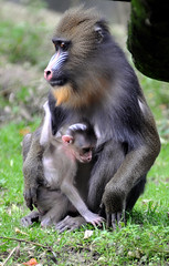 Mandrill Ouwehands Dierenpark (lesbaer4) Tags: zoo mandrill rhenen ouwehandsdierenpark ouwehandszoo