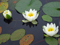 Day 9 -Lotus Flowers and  Water Lily's along Howry Creek (Bobcatnorth) Tags: summer sky lake ontario canada water forest outdoors paddle august canoe killarney canoeing portage paddling provincialpark 2015 portaging killarneyprovincialpark