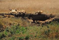 Tanzania (Ngorongoro) Sleeping lions after meal (ustung) Tags: life park wild nature animals tanzania nikon lion conservation ngorongoro national crater area