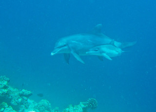 Bottlenose Dolphins - Tursiops aduncus