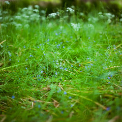 (bokehmaki) Tags: flowers england plants nature 50mm spring bokeh sigma wildflowers nationaltrust nymans canon5dmkii