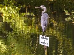 Humor (aj.lindeboom) Tags: vogels dieren diversen plaatsen strijthagen