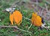 150927 fccjN 151007 © Théthi (thethi: pls read the 1st comment :-)) Tags: nature forêt mousse champignon clavaire jaune orange namur wallonie belgique belgium setnamurcity setvegetaux faves49 bestof2015 setseptembre ruby10