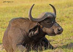 """JHG_7014-b  A """"fly-free"""" Cape Buffalo !!!!! Amboseli, Kenya. (GavinKenya) Tags: africa wild nature animal june john mammal photography gavin photographer kenya african wildlife july grand safari dk naturephotography kenyasafari africansafari 2015 safaris africanwildlife africasafari johngavin wildlifephotography kenyaafrica kenyawildlife dkgrandsafaris africa2015 safari2015 johnhgavin"""