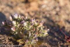 Desierto Florido (Atacama) (Alvaro Lovazzano) Tags: chile atacama desierto copiapo desiertoflorido 2015 floweringdesert