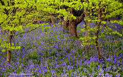 CHARTWELL park, bluebell (claude.lacourarie) Tags: park uk england castles kent spring unitedkingdom britain eu churchill winstonchurchill manor nationaltrust bluebell printemps palaces chartwell manoir cottages statelyhomes manorhouses jacinthesauvage