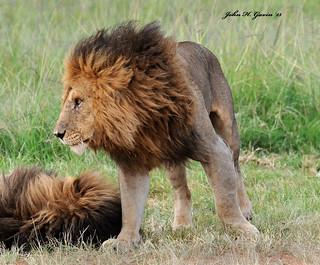 JHG_6985-b Two of the 4 Lions near the Kichwa Tembo airstrip , Masai Mara, Kenya.