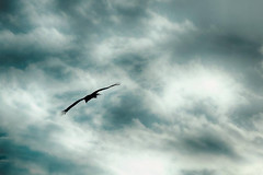 Bird Gliding on Outstretched Wings (Image Catalog) Tags: sky bird clouds flying wings cloudy background flight overcast soaring publicdomain