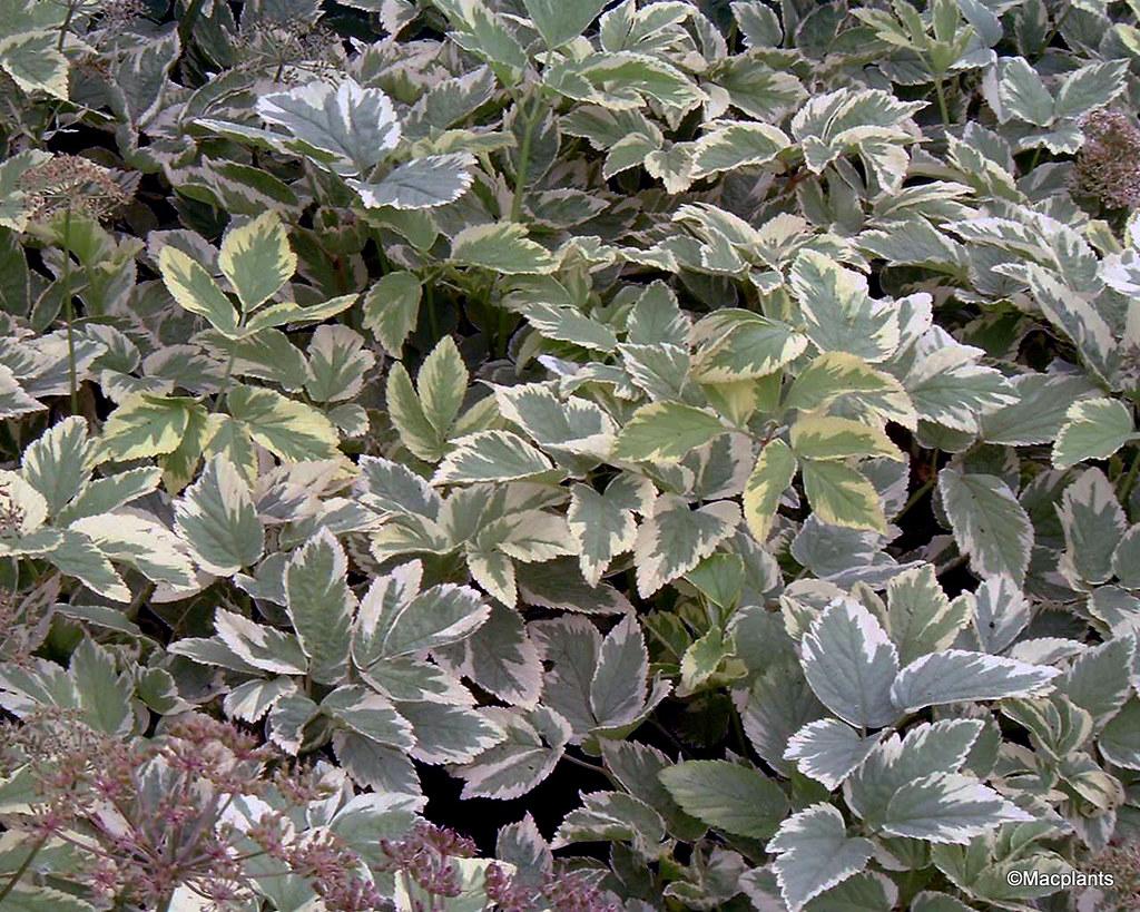 Aegopodium podagraria 'Variegatum'