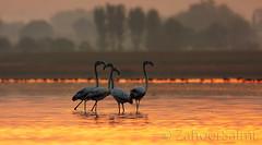 Greater Flamingo (Zahoor-Salmi) Tags: camera pakistan macro nature birds animals canon lens photo tv google flickr natural action wildlife watch bbc punjab wwf salmi walpapers chanals discovry beutty bhalwal zahoorsalmi
