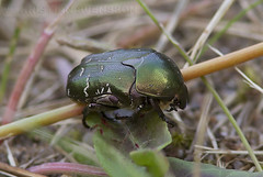 Olivegreen Flower Chafer (Protaetia cuprea) (macronyx) Tags: nature insect wildlife beetle insects insekt chafer insekter skalbagge protaetia guldbagge flowerchafer protaetiacuprea olivegreenflowerchafer olivgrnguldbagge