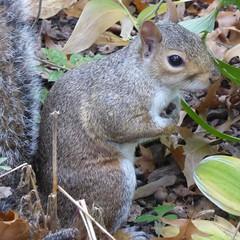 New York - Squirrel at Central Park (Moro972) Tags: park nyc travel parco usa ny newyork nature grey squirrel day grigio centralpark manhattan natura scoiattolo giorno 2015