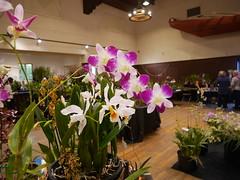 P1100053 (cieneguitan) Tags: flora lan bunga orkid flowershow okid angrek anggerek