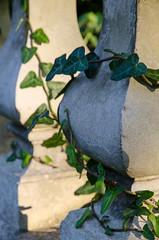 Ivy (Spannarama) Tags: sunlight sunshine shadows ivy pillars entwined ballustrade trailing