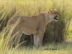 JHG_7094=b Snarling Lioness, Amboseli, Kenya. (GavinKenya) Tags: africa wild nature animal june john mammal photography gavin photographer kenya african wildlife july grand safari dk naturephotography kenyasafari africansafari 2015 safaris africanwildlife africasafari johngavin wildlifephotography kenyaafrica kenyawildlife dkgrandsafaris africa2015 safari2015 johnhgavin