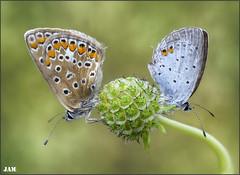 Tierra y agua (- JAM -) Tags: naturaleza flower macro nature insect nikon flor explore jam mariposas d800 insecto macrofotografia explored lepidopteros juanadradas