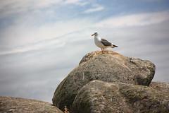 Oiseau de mer (philippe.ducloux) Tags: france bird nature canon brittany seagull gull bretagne oiseau mouette finistre le goland batz ledebatz 450d canon450d strictlygeotagged natureonly