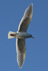 (Ian Threlkeld) Tags: canada nature birds wings nikon flickr bc britishcolumbia wildlife seagull gull flight explore soaring pnw birdwatching irt penderisland naturephotography beautifulbc wildlifephotography thievesbay nikonphotography nikonphoto explorebc d7000 mynikonlife