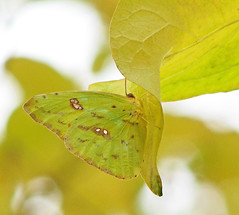 12 Days of Christmas Butterflies - #1 Cloudless sulphur - yesterday! (Vicki's Nature) Tags: autumn leaves yellow canon butterfly georgia big december s5 2030 cloudlesssulphur loty chinesefringetree vickisnature 12daysofchristmasbutterflies gibbsgardens 12daysofchristmasbutterflies2015