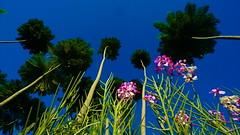 Taman Orkid Kuching, Sarawak,Malaysia (muhammadnizam.omar) Tags: orchid flower malaysia bunga orkid