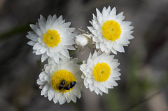 Waitzia citrina 2 (brundrett) Tags: herb everlasting daisy yellow white spring annual