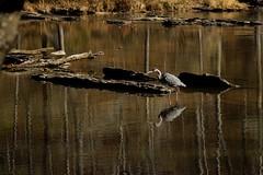 Sweetwater Creek (Kraften) Tags: ifttt 500px heron bird wildlife birds animal animals water wild creek stream forest trees reflection woods wilderness georgia america