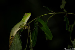 Enyalius inheringii (azambolli) Tags: reptile reptil lizard lagarto animal nature natureza brasil