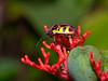 Lychee Shield-backed Jewel Bug, Chrysocoris stollii, Scutelleridae (Eerika Schulz) Tags: bug lychee shieldbacked jewel chrysocoris stollii scutelleridae eerika schulz