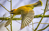 Jaseur d'Amérique (yveshebert) Tags: birds oiseaux oiseauxduquébec outaouais ottawariver jaseur wildlife