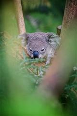 Peek-a-boo (radio4) Tags: koala phascolarctoscinereus animal tarongazoo sydney nsw australia