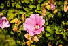 rose of Sharon or Mugunghwa (gwnam.2008) Tags: nature flower urbannature floweringplant blossom roseofsharon mugunhwa pink pinkcolor plant green greencolor leaf abundance abundant hanriver seoul korea southkorea