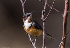 Eastern Spinebill (Mykel46) Tags: honey white brown canon wildlife nature birds easternspinebill acanthorhynchustenuirostris meliphagidae currencycreek southaustralia australia au