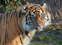 sumatran tiger Burgerszoo JN6A9437 (j.a.kok) Tags: burgerszoo tijger tiger sumatraansetijger sumatrantiger pantheratigrissumatrea cat kat predator sumatra asia azie mammal zoogdier