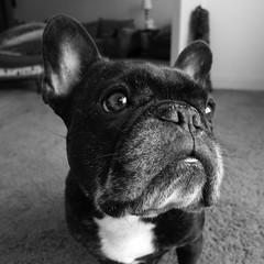 """01-24-17 (2648) Mug Shots (Lainey1) Tags: oz ozzy dog frenchie bulldog lainey1 elainedudzinski frogdog zendog frenchbulldog ozzythefrenchie """"leica dlux 4"""" leica """"dlux bw monochrome 2648 2648oz 365 012417 theeighthyear"""