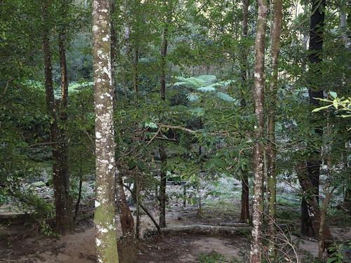 Coachwood rainforest (Ceratopetalum apetalum)