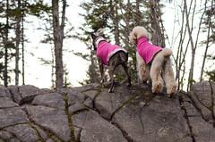 greta & umi (syzygial) Tags: dsc6926 greta umi standardpoodle poodle spoo americanpitbullterrier pitbull boxer rescuedog