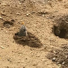 Pushing Earth Outside Burrow (Chic Bee) Tags: iphone7plus tucsonarizona pocketgopher