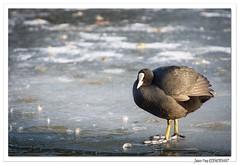 Très gonflée ! (C. OTTIE et J-Y KERMORVANT) Tags: nature animaux oiseaux foulquemacroule ill mulhouse alsace france