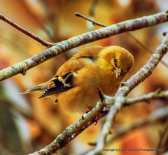 American Goldfinch (T i s d a l e) Tags: tisdale americangoldfinch bird winter january 2017 easternnc