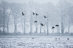 Geese @Westerwolde (lique1304) Tags: geese goos westerwolde cold landscape winterland winter ice fog birds trees white canon nature outdoor field