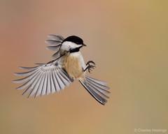 Incoming (CharlesHastings) Tags: wildlife blackcappedchickadee poecileatricapillus birdinflight winter bird
