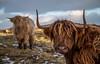 Highlander Hardy (Impact Imagz) Tags: gress isleoflewis outerhebrides westernisles winter winterlight wintercolour winterscene gressbeach gresslodge highlanders