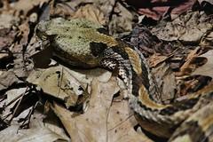 Snake (Hugo von Schreck) Tags: hugovonschreck snake schlange tier canoneos5dsr tamron28300mmf3563divcpzda010 darmstadt hessen deutschland