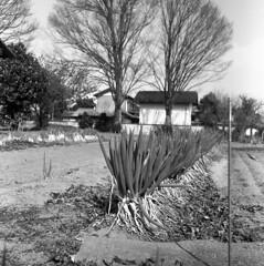 Negi in the field (odeleapple) Tags: mamiya c330 mamiyasekor 65mm neopan100acros film monochrome bw negi field onion
