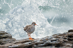 Redshank (Max Thompson Photography) Tags: nature wild wildlife bird red shank redshank wave water coast rock pool fod feed splash sea eye contact big small 500mm canon bokeh depth detail south west uk englands england