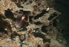 Piddock Clams Point Defiance North Wall (Dan Hershman) Tags: scuba underwater pointdefiancenorthwall pugetsound thenarrows