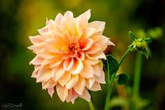 Chrysanthemum (JDanyaloff) Tags: flower summer garden nikon tokina d610 macro macroworld