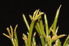 Mistletoe cactus (Rhipsalis cassutha) (shadowshador) Tags: mistletoe cactus rhipsalis cassutha neomura eukaryota archaeplastida plantae plant plants tracheobionta spermatophyta magnoliophyta magnoliopsida caryophyllidae caryophyllales cactaceae cactoideae rhipsalideae taxonomy scientific classification biology botany wildlife life shiny green