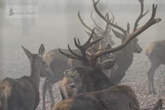 Ciervo común (Cervus elaphus). En la niebla matinal (foggy morning) (jsnchezyage) Tags: ciervoeuropeo ciervorojo ciervocolorado venado ciervocomún cervuselaphus fauna naturaleza niebla ruby3