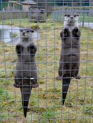 Curious Otters (chdphd) Tags: lutralutralutra lutra otter europeanotter eurasianriverotter commonotter oldworldotter camperdownwildlifecentre camperdown wildlife